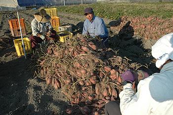 大量のサツマイモと鈴木郁馬さん