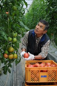 赤く熟れているトマトを選び収穫