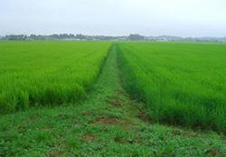 左が通常の田植えをした田、右が鉄粉でコーティングした種もみを直接まいた田。稲の成長は通常の田にほぼ追い付いた=福島県内で7月30日(クボタ提供)