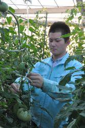 岐阜県立岐阜農林高でトマトの芽かきに励む