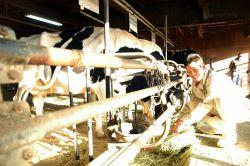 兵庫県立農業高校で乳牛に餌をやる