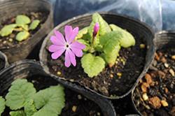 種差海岸で採取した種から花を咲かせたサクラソウ=名久井農業高校内の農場で2012年5月(名久井農業高校提供)