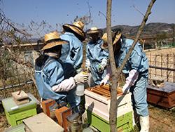 巣箱を使ってミツバチを飼育する生徒たち=広島県神石高原町で2013年4月(広島県立油木高校提供)